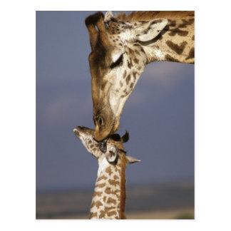 アフリカ、ケニヤ、マサイ語マラ。 キリン(キリン ポストカード