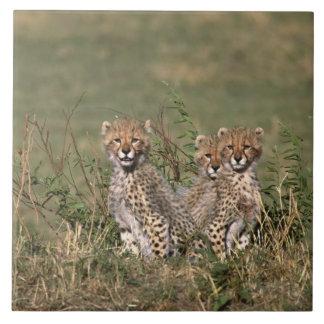 アフリカ; ケニヤ; マサイ語マラ; 3匹のチータの幼いこども タイル
