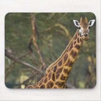 アフリカ。 ケニヤ。 湖2のRothschildのキリン マウスパッド