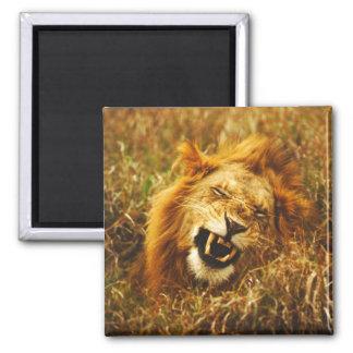 アフリカ、ケニヤ、Maasaiマラ。 オスのライオン。 野生 マグネット