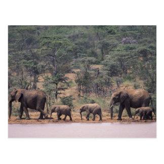 アフリカ、ケニヤ、Nanyuki、Mpala。 アフリカ ポストカード