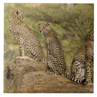 アフリカ。 ケニヤ。 Samburu NPのチータ。 2 タイル