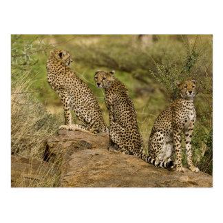 アフリカ。 ケニヤ。 Samburu NPのチータ。 2 ポストカード