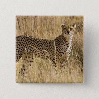 アフリカ。 ケニヤ。 Samburu NPのチータ。 2 5.1cm 正方形バッジ