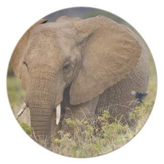 アフリカ。 ケニヤ。 Samburu NP.の象 プレート