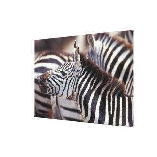 アフリカ、タンザニアのシマウマの群れ キャンバスプリント