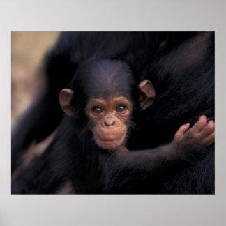 アフリカ、タンザニアのGombeの国立公園、浮気者、a ポスター