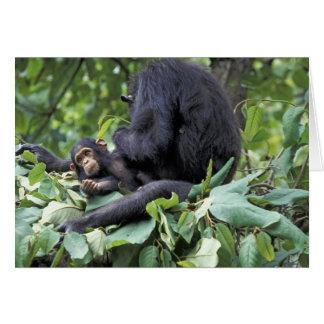 アフリカ、タンザニアのGombe NPの女性チンパンジー カード