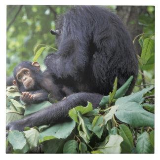 アフリカ、タンザニアのGombe NPの女性チンパンジー タイル