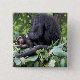 アフリカ、タンザニアのGombe NPの女性チンパンジー 5.1cm 正方形バッジ