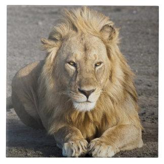アフリカ。 タンザニア。 のNdutuのオスのライオン タイル
