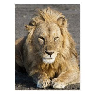 アフリカ。 タンザニア。 のNdutuのオスのライオン ポストカード