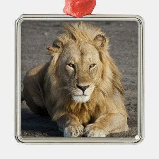 アフリカ。 タンザニア。 のNdutuのオスのライオン メタルオーナメント