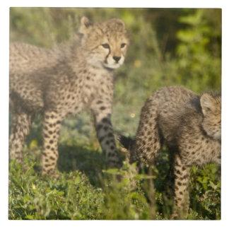 アフリカ。 タンザニア。 のNdutuのチータの幼いこども タイル