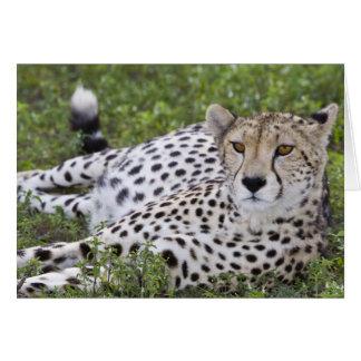 アフリカ。 タンザニア。 のNdutuのメスのチータ カード