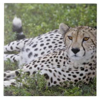 アフリカ。 タンザニア。 のNdutuのメスのチータ タイル