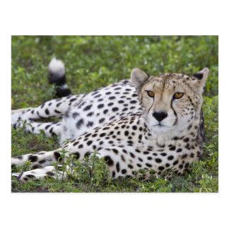 アフリカ。 タンザニア。 のNdutuのメスのチータ ポストカード