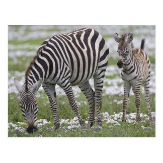 アフリカ。 タンザニア。 シマウマの母そして子馬の ポストカード