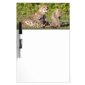 アフリカ。 タンザニア。 チータの母および幼いこども2 ホワイトボード