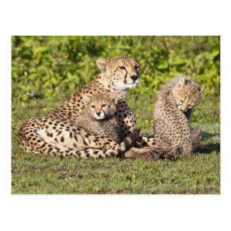 アフリカ。 タンザニア。 チータの母および幼いこども2 ポストカード