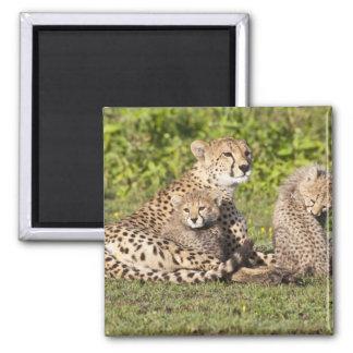 アフリカ。 タンザニア。 チータの母および幼いこども2 マグネット