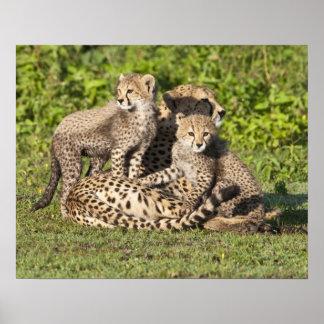 アフリカ。 タンザニア。 チータの母および幼いこども ポスター