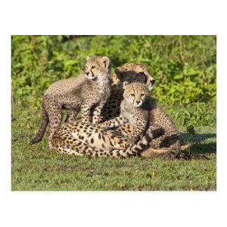 アフリカ。 タンザニア。 チータの母および幼いこども ポストカード