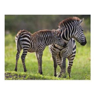 アフリカ。 タンザニア。 共通シマウマの母およびベビー ポストカード