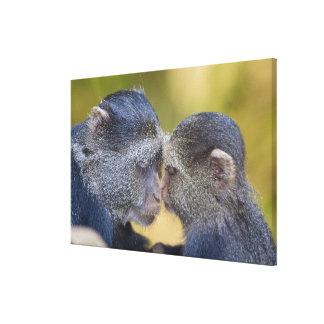 アフリカ。 タンザニア。 若者を持つ青い猿の母 キャンバスプリント
