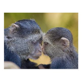 アフリカ。 タンザニア。 若者を持つ青い猿の母 ポストカード