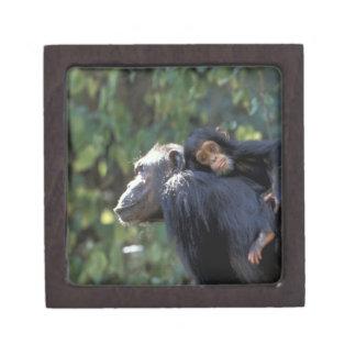 アフリカ、タンザニア、Gombe NPのチンパンジー。  女性 ギフトボックス