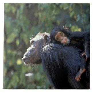 アフリカ、タンザニア、Gombe NPのチンパンジー。  女性 タイル