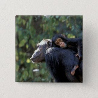 アフリカ、タンザニア、Gombe NPのチンパンジー。  女性 5.1cm 正方形バッジ