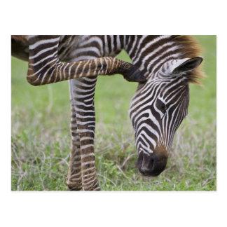 アフリカ。 タンザニア。 Ngorongoroのシマウマの子馬 ポストカード