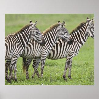 アフリカ。 タンザニア。 Ngorongoroの噴火口のシマウマ ポスター