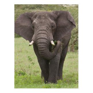 アフリカ。 タンザニア。 Ngorongoroの噴火口の象、 ポストカード