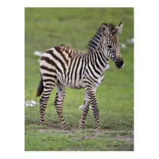 アフリカ。 タンザニア。 Ngorongoro 2のシマウマの子馬 ポストカード