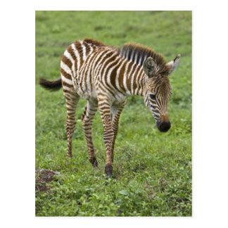 アフリカ。 タンザニア。 Ngorongoro 3のシマウマの子馬 ポストカード