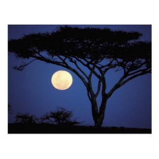 アフリカ、タンザニア、Tarangire。 アカシアの木 ポストカード