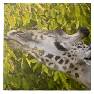 アフリカ。 タンザニア。 Tarangire NP.のマサイ族のキリン タイル