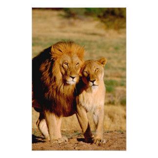 アフリカ、ナミビア、Okonjima。 ライオン及び雌ジシ フォトプリント