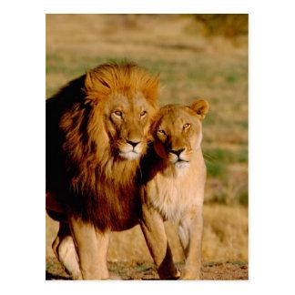アフリカ、ナミビア、Okonjima。 ライオン及び雌ジシ ポストカード