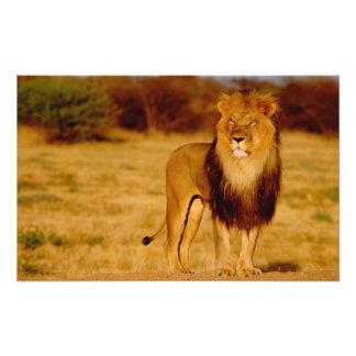 アフリカ、ナミビア、Okonjima。 単独オスのライオン フォトプリント