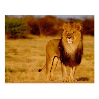 アフリカ、ナミビア、Okonjima。 単独オスのライオン ポストカード