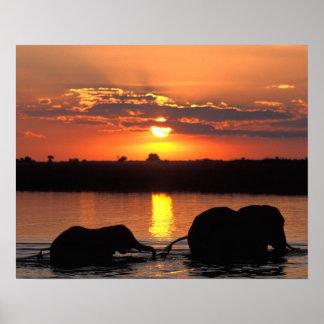 アフリカ、ボツワナのChobeの国立公園、群れの ポスター