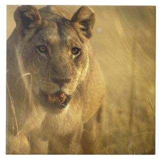 アフリカ、ボツワナのMoremiのゲームの予備、雌ジシ タイル