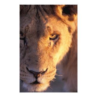 アフリカ、ボツワナのOkavangoのデルタ。 ライオンの終わり フォトプリント