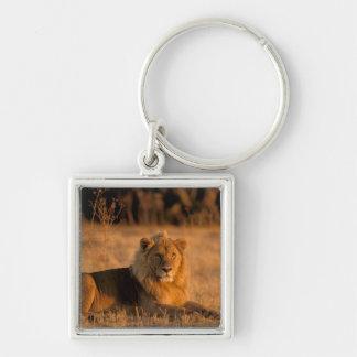 アフリカ、ボツワナのOkavangoのデルタ。 ライオン(ヒョウ属 キーホルダー