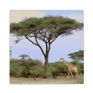 アフリカ、ボツワナのOkavangoのデルタ。 南 ウッドコースター