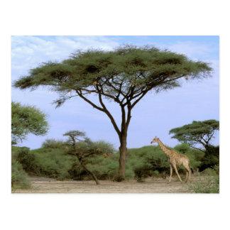 アフリカ、ボツワナのOkavangoのデルタ。 南 ポストカード